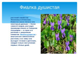 Фиалка душистая Фиа́лка (лат. Víola) — род растений семейства Фиалковые (Viol