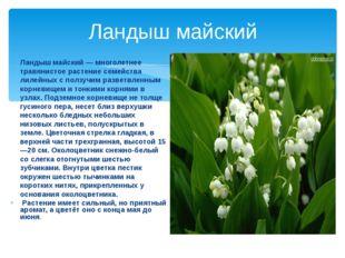Ландыш майский Ландыш майский — многолетнее травянистое растение семейства ли