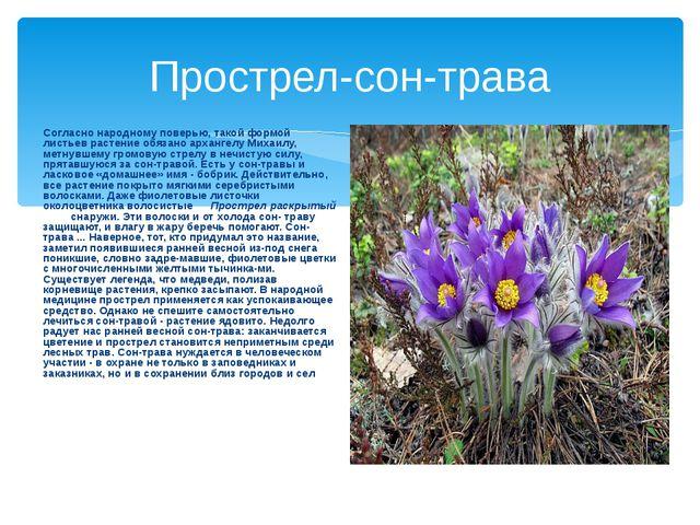 Прострел-сон-трава Согласно народному поверью, такой формой листьев растение...