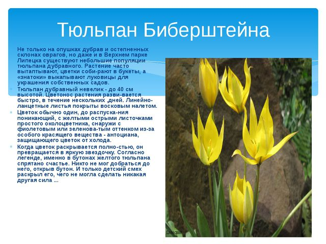 Тюльпан Биберштейна Не только на опушках дубрав и остепненных склонах оврагов...