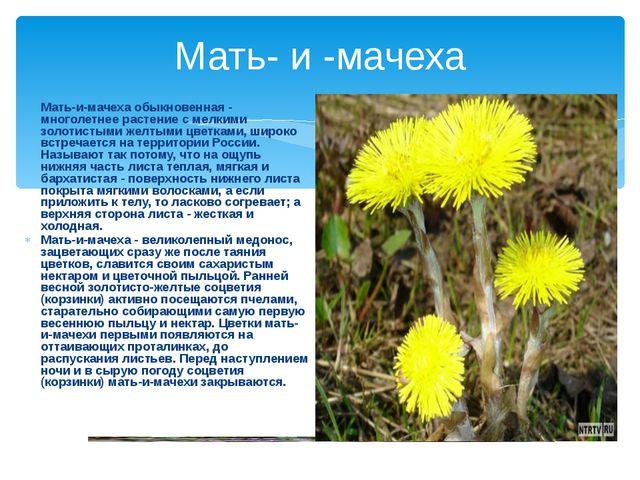 Мать- и -мачеха Мать-и-мачеха обыкновенная - многолетнее растение с мелкими з...