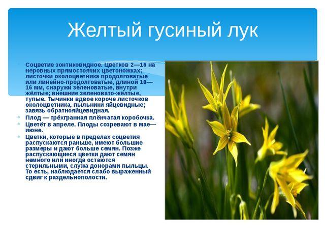 Желтый гусиный лук Соцветие зонтиковидное. Цветков 2—16 на неровных прямостоя...