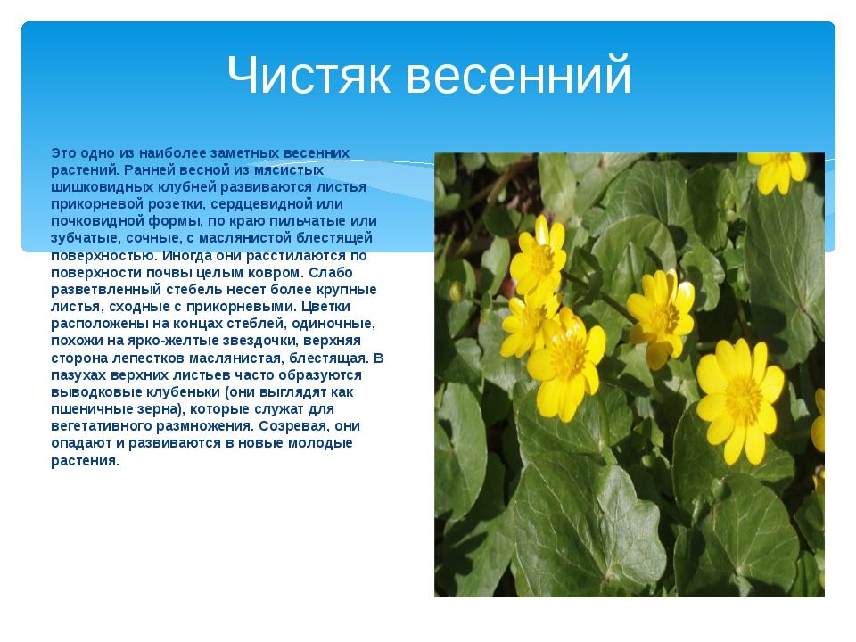 Чистяк весенний Это одно из наиболее заметных весенних растений. Ранней весно...