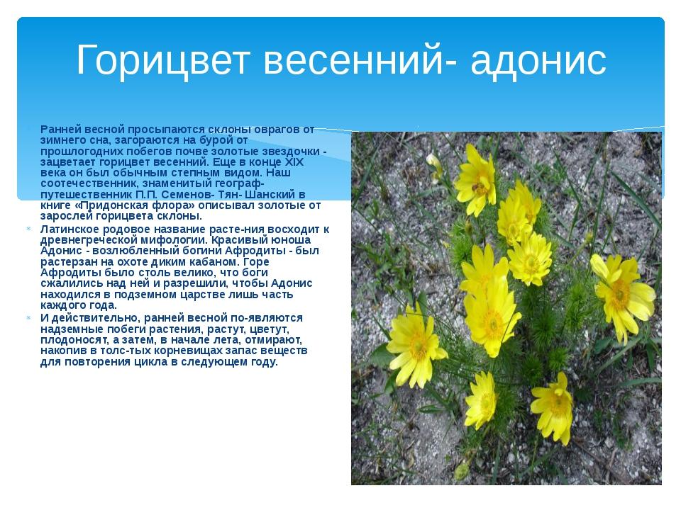 Горицвет весенний- адонис Ранней весной просыпаются склоны оврагов от зимнего...