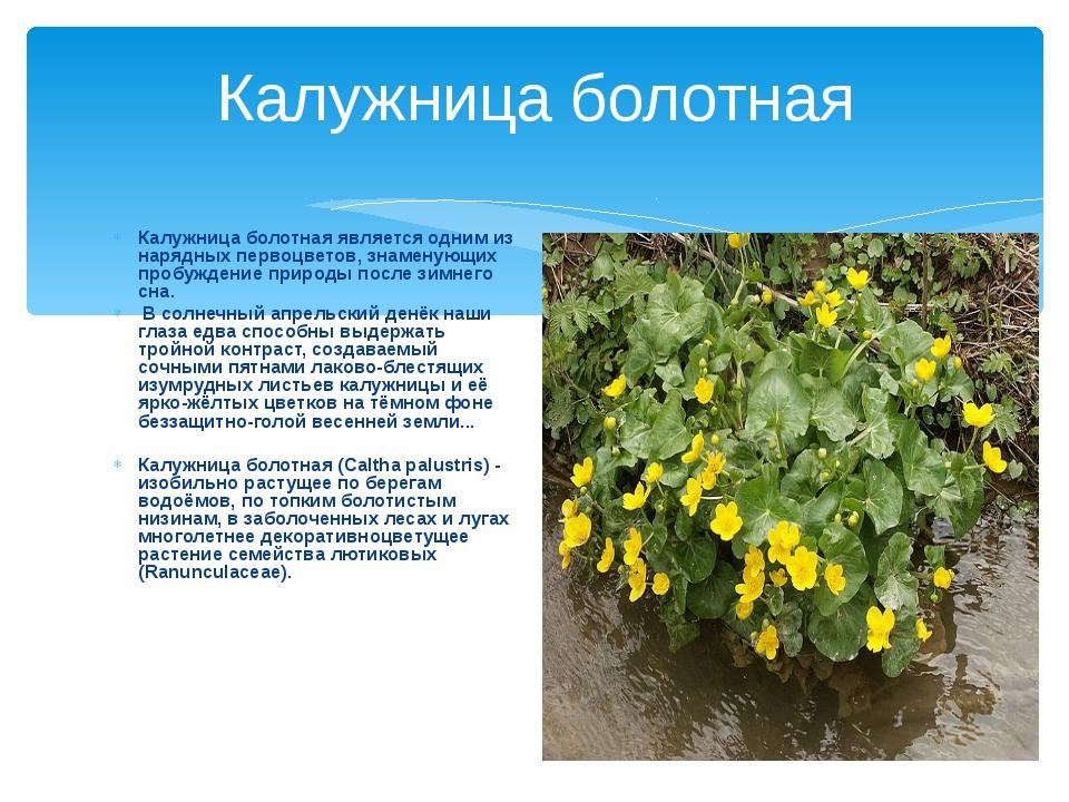 Калужница болотная Калужница болотная является одним из нарядных первоцветов,...