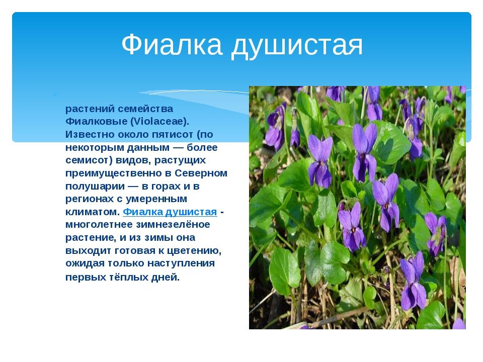 Фиалка душистая Фиа́лка (лат. Víola) — род растений семейства Фиалковые (Viol...