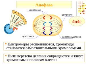 Анафаза хромосомы центриоли веретено деления центромера Центромеры расщепляют