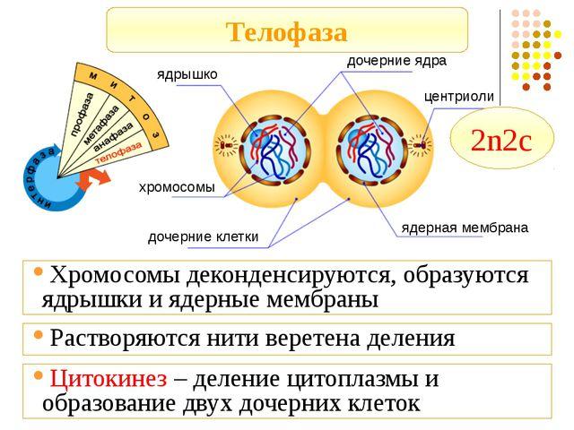 Телофаза ядрышко дочерние ядра центриоли ядерная мембрана хромосомы дочерние...