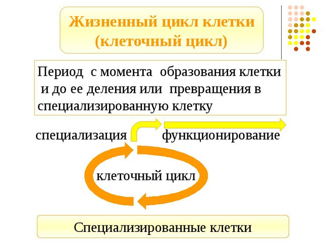Период с момента образования клетки и до ее деления или превращения в специал...