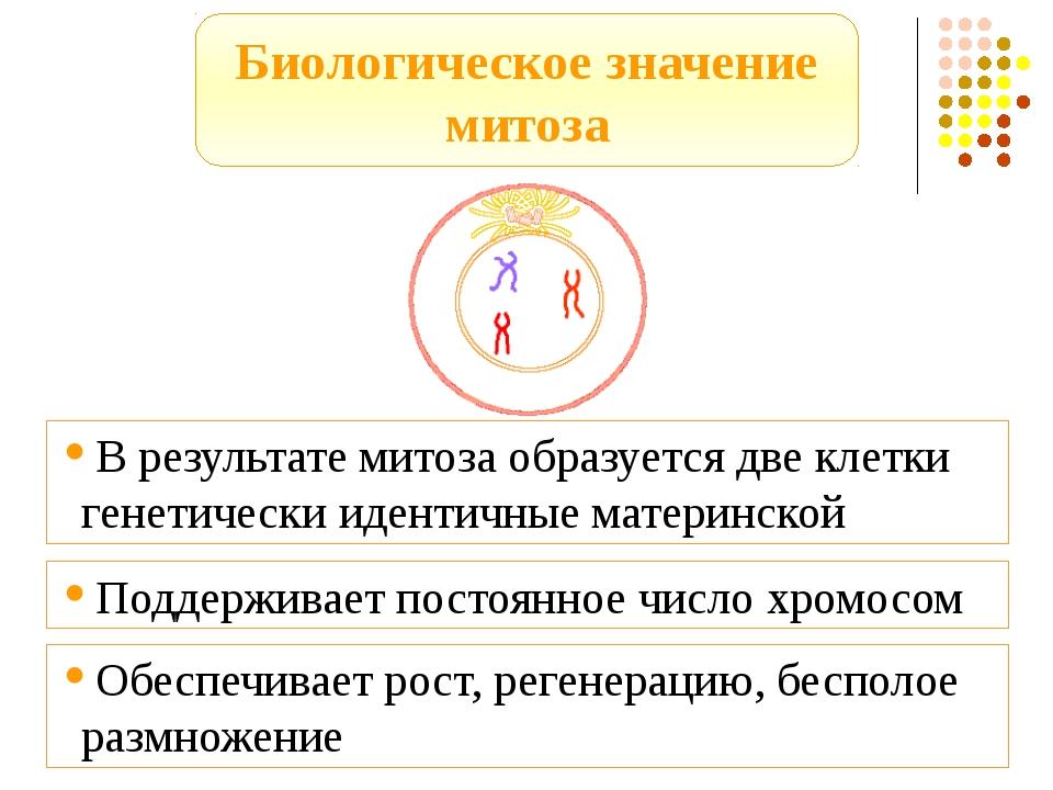 Биологическое значение митоза В результате митоза образуется две клетки генет...