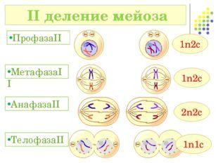 II деление мейоза ПрофазаII МетафазаII 1n2c 1n2c АнафазаII 2n2c 1n1c Телофаз