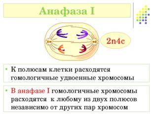 В анафазе I гомологичные хромосомы расходятся к любому из двух полюсов незави