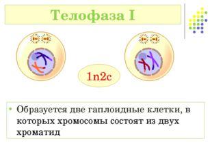 Телофаза I 1n2c Образуется две гаплоидные клетки, в которых хромосомы состоят