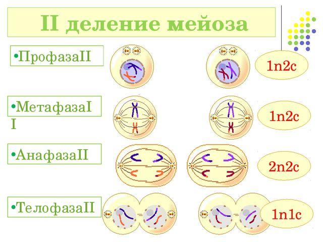 II деление мейоза ПрофазаII МетафазаII 1n2c 1n2c АнафазаII 2n2c 1n1c Телофаз...