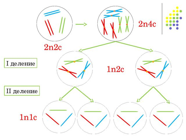 2n2c 2n4c I деление 1n2c II деление 1n1c