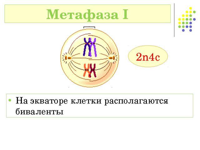 На экваторе клетки располагаются биваленты Метафаза I 2n4c