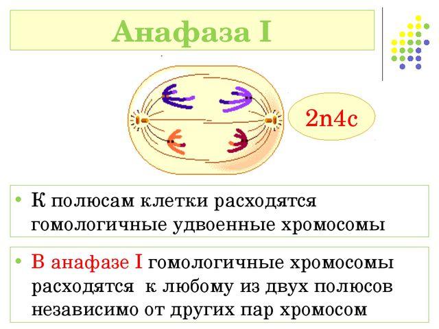 В анафазе I гомологичные хромосомы расходятся к любому из двух полюсов незави...