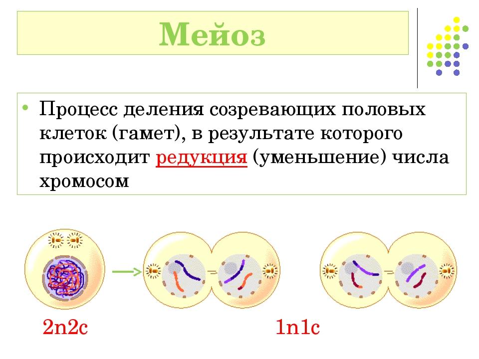 Процесс деления созревающих половых клеток (гамет), в результате которого про...