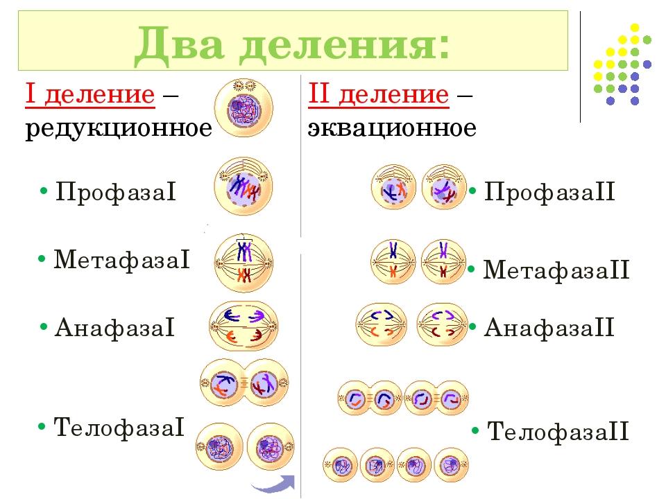 Два деления: I деление – редукционное II деление – эквационное ПрофазаI Профа...