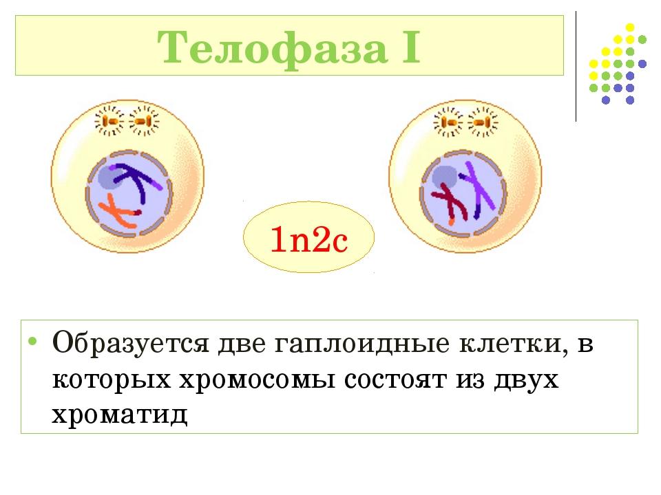 Телофаза I 1n2c Образуется две гаплоидные клетки, в которых хромосомы состоят...