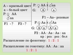 А – красный цвет а – белый цвет Р: АА аа F1 - ? F2 - ? Р: АА Х аа А а F1 – А