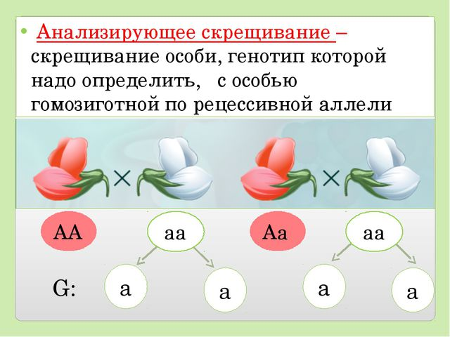 Анализирующее скрещивание – скрещивание особи, генотип которой надо определи...