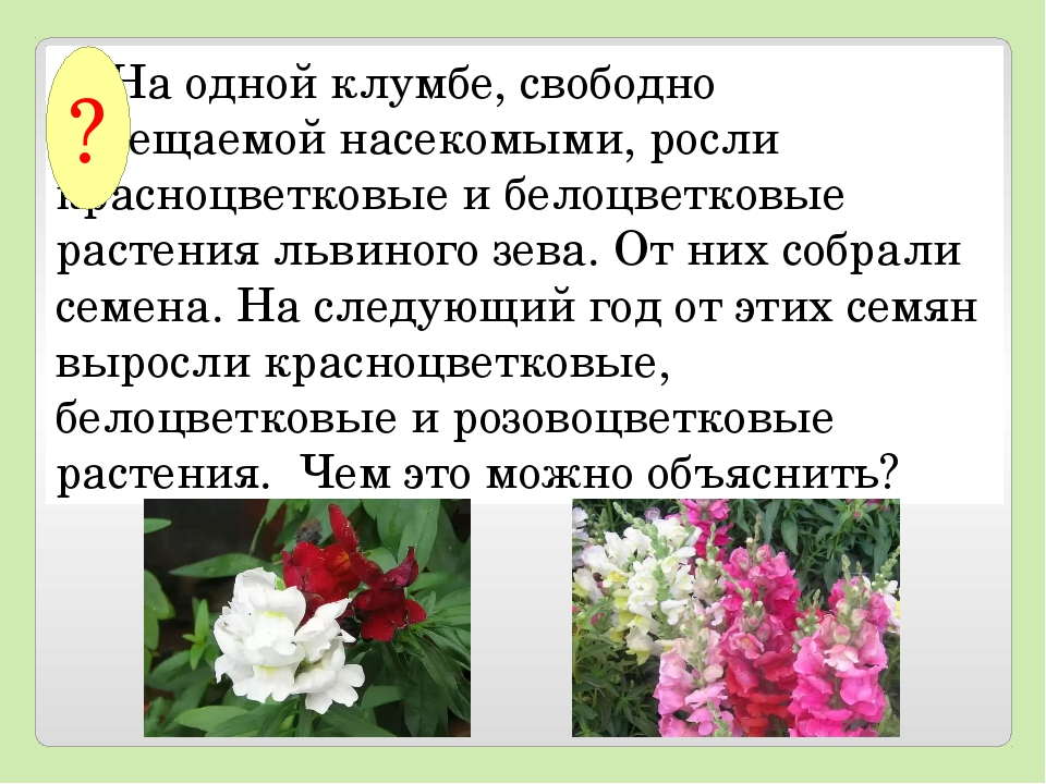 На одной клумбе, свободно посещаемой насекомыми, росли красноцветковые и б...