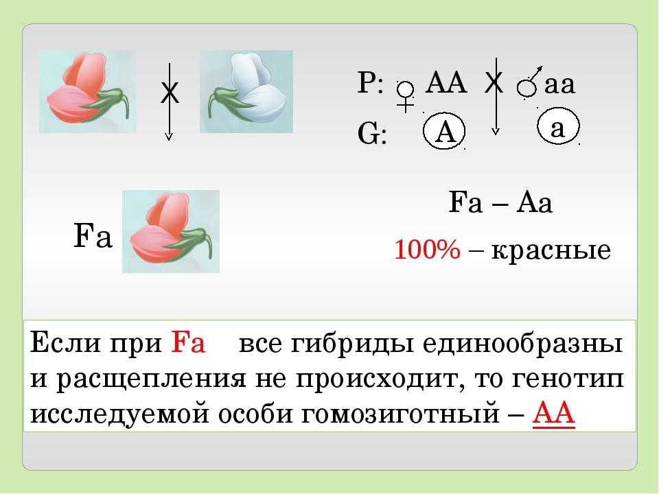 Если при Fа все гибриды единообразны и расщепления не происходит, то генотип...