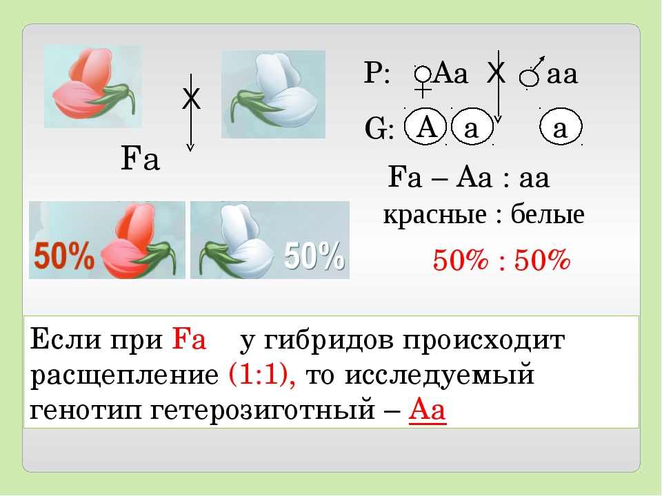 Если при Fа у гибридов происходит расщепление (1:1), то исследуемый генотип г...