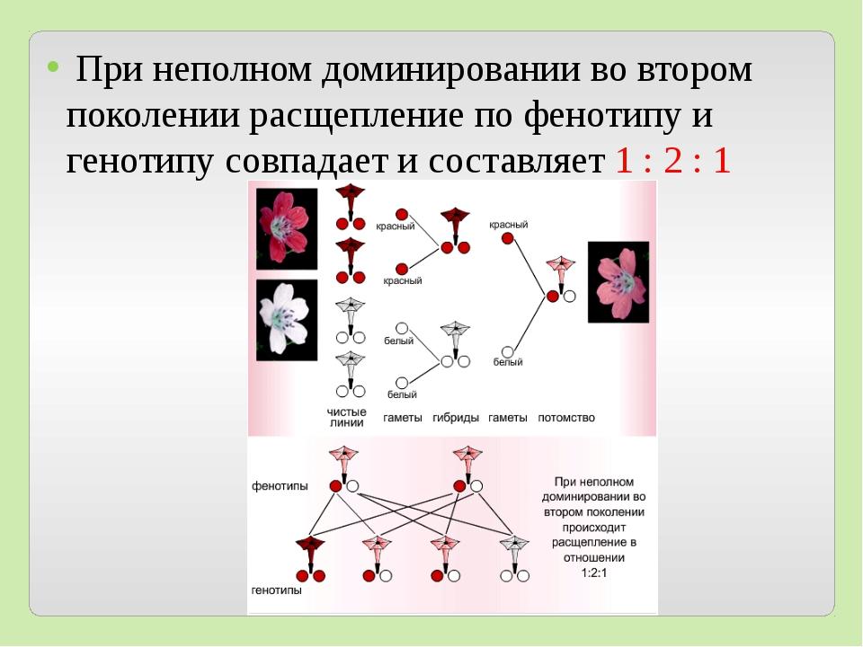 При неполном доминировании во втором поколении расщепление по фенотипу и ген...