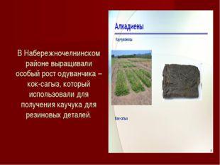 В Набережночелнинском районе выращивали особый рост одуванчика –кок-сагыз, ко