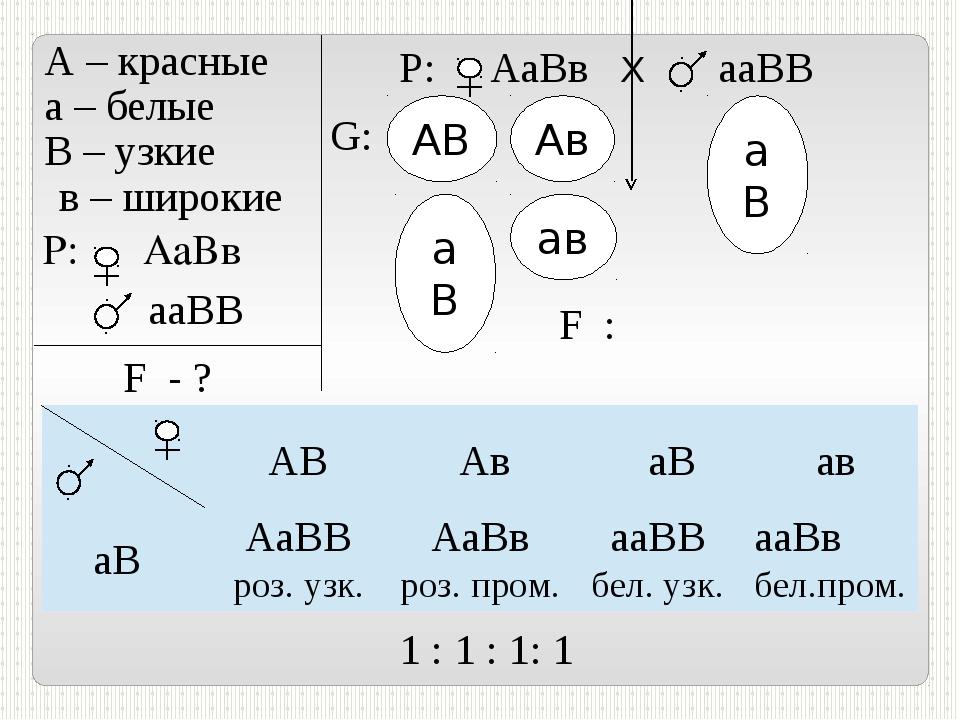 А – красные а – белые В – узкие в – широкие P: АаВв ааВВ F - ? Р: АаВв Х ааВ...