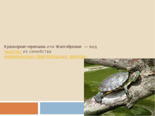 Красноухая черепаахаилиЖелтобрюхая— видчерепахиз семействаамериканских