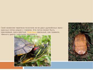 Своё название черепаха получила из-за двух удлинённых ярко-красных пятен рядо