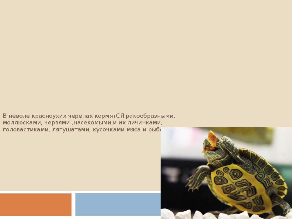 В неволе красноухих черепах кормятСЯ ракообразными, моллюсками, червями ,насе...