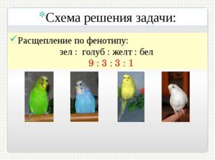 Схема решения задачи: Расщепление по фенотипу: зел : голуб : желт : бел 9 : 3