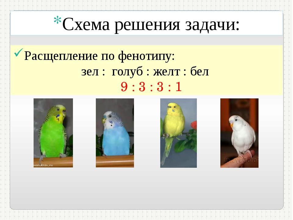 Схема решения задачи: Расщепление по фенотипу: зел : голуб : желт : бел 9 : 3...