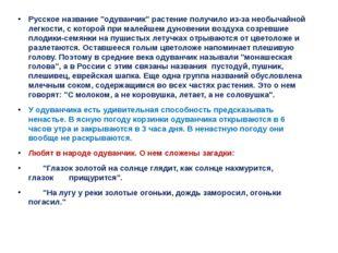 """Русское название """"одуванчик"""" растение получило из-за необычайной легкости, с"""