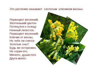 Это растение называют «золотым ключиком весны». Первоцвет весенний, Желтеньки