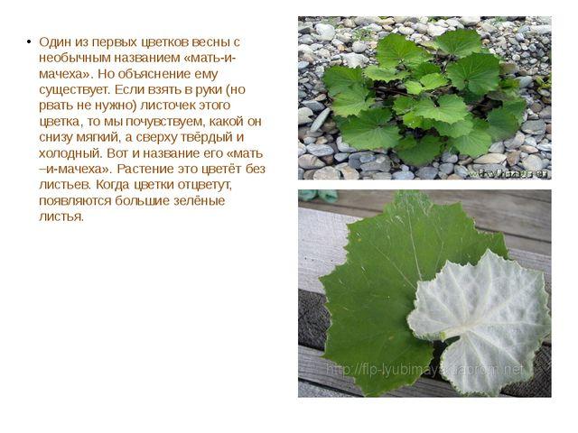 Один из первых цветков весны с необычным названием «мать-и-мачеха». Но объяс...