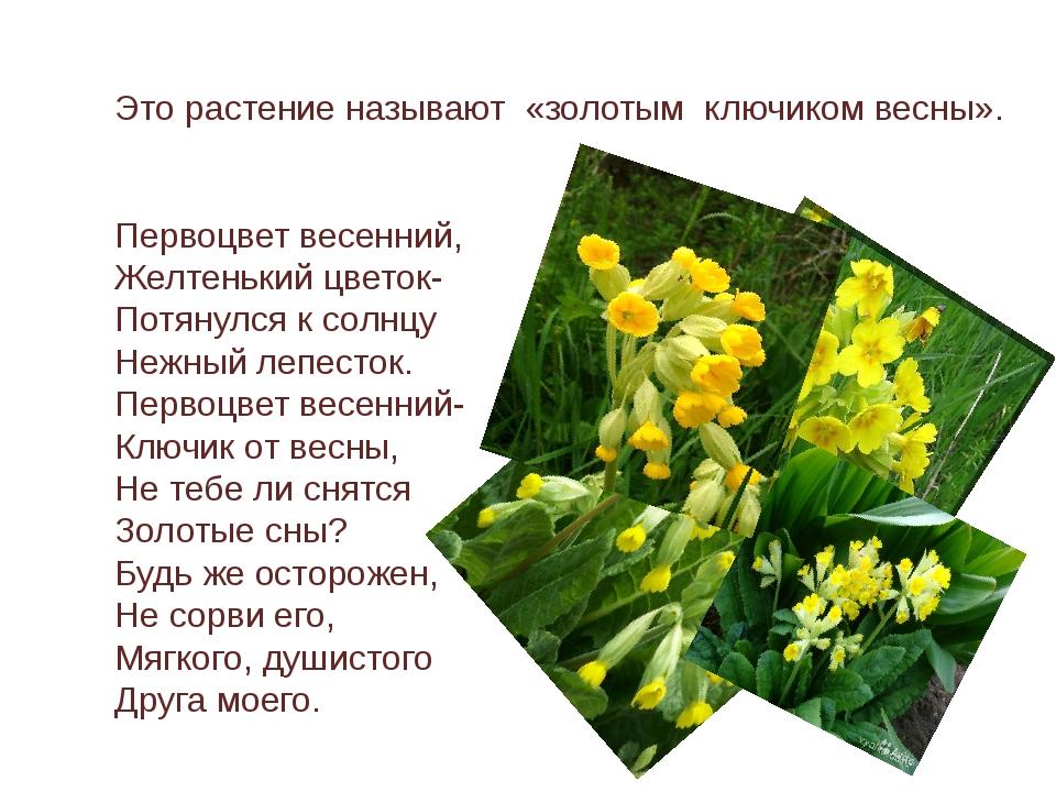 Это растение называют «золотым ключиком весны». Первоцвет весенний, Желтеньки...