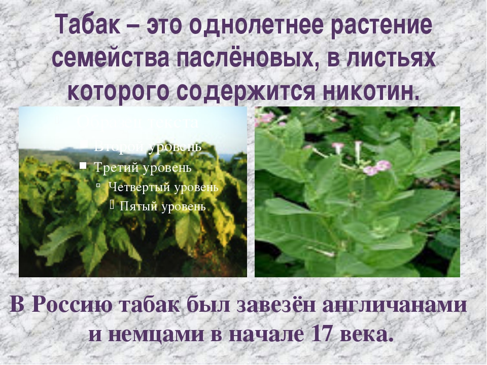 Табак – это однолетнее растение семейства паслёновых, в листьях которого соде...