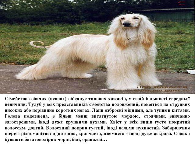 Сімейство собачих (псових) об'єднує типових хижаків, у своїй більшості серед...