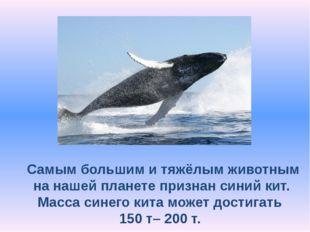 . Самым большим и тяжёлым животным на нашей планете признан синий кит. Масса