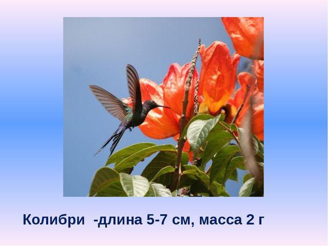 Колибри -длина 5-7 см, масса 2 г