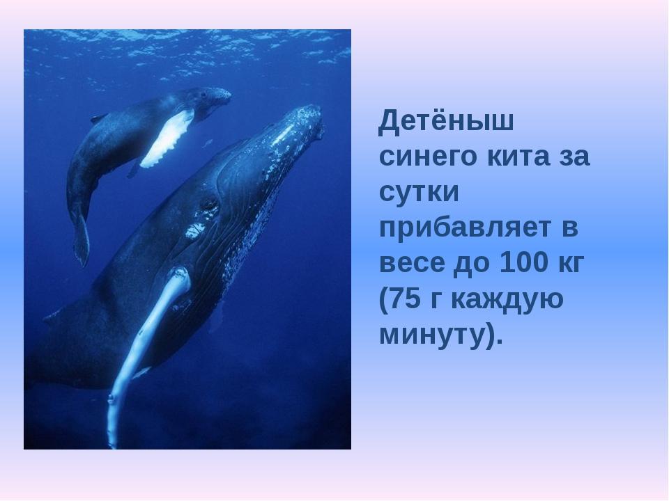 Детёныш синего кита за сутки прибавляет в весе до 100 кг (75 г каждую минуту).