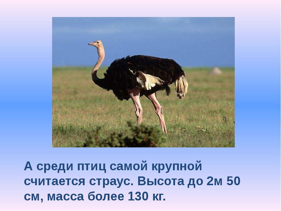 А среди птиц самой крупной считается страус. Высота до 2м 50 см, масса более...