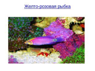 Желто-розовая рыбка