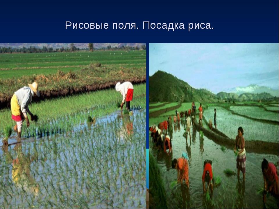 Рисовые поля. Посадка риса.
