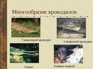 Многообразие крокодилов Кайман черный Узкорылый крокодил Гавиал Гавиаловый кр